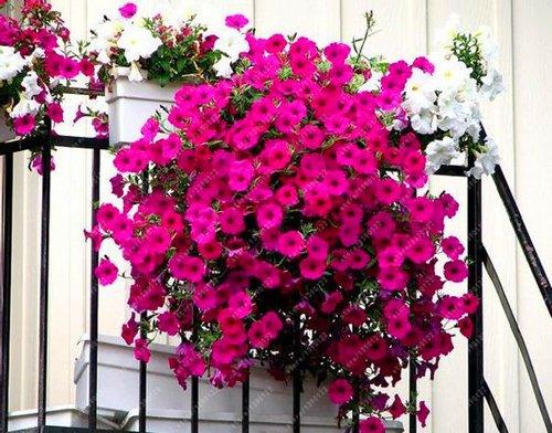 100pcs cuelgan semillas de petunia semillas de flores de melisa originales flores perennes para el jardín de la petunia bonsai crisol de establecimiento 15
