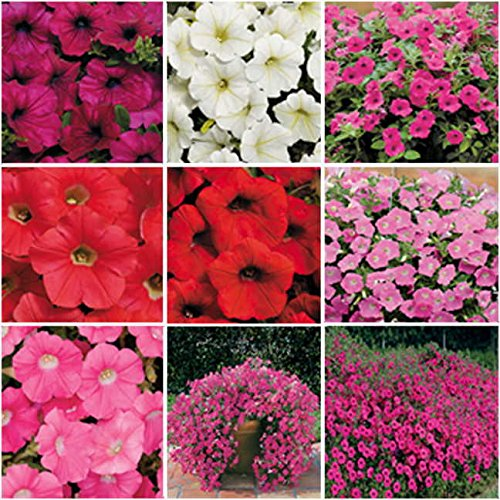 Wave Petunia Seeds: Amazon com