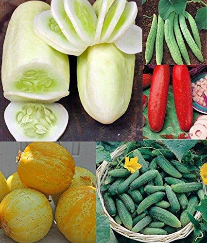 Bunte Gurke 20 Samen -Organic- 4 Sorten in 1 Packung/Aufregende Farben und Formen
