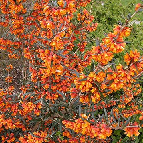 Berberis Linearifolia 'Orange King'- Épine-vinette à feuilles linéaires 'Orange King' 30-40 cm en conteneur