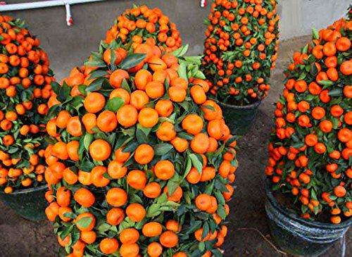 50 graines / paquet fruits comestibles Graines en pot Bonsai Graines Orange Tree Climbing
