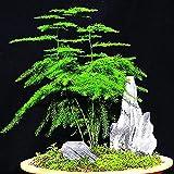 Semi per giardinaggio, 8 pezzi di semi di felce di asparagi, erbe perenni, piante bonsai in vaso, per casa e giardino