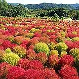 Charm4you Semillas de Flores Multicolores,Outdoor Easy Park Green Grass Seed-Red_0.25kg,Raras Semillas de Hierba