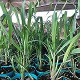 1 pianta di citronella, 30-40 cm, antizanzare naturale,cymbopogon citratus