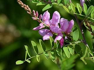 Indigofera tinctoria, Indigo Starter Plant (3 Plants)