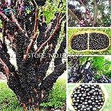 100pcs Essbare gute Geschmack Jabuticaba Samen Gesunde Fruchtsamen Indoor & Outdoor-Bonsai-Baum Novel