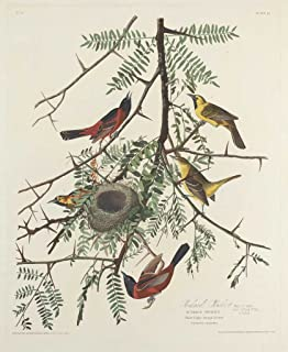 Fine Art Print - Robert Havell after John James Audubon - Orchard Oriole 1828 - Vintage Wall Decor Poster Reproduction - 36in x 44in