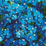 【メール便配送】国華園 種 花たね ネメシア ブルー 1袋(50mg)【※発送が株式会社 国華園からの場合のみ正規品です】