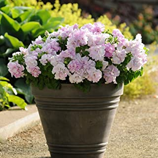 100PCS Overlapping Petal Petunia Colorful Bonsai Indoor Balcony Four Seasons Flower Perennial for Planting in The Garden (6)