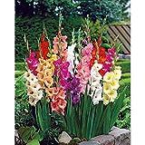 75 Mixed Large Flowering Gladiolus Bulbs - 10/14 cm - Super Value!