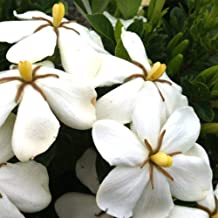 Plants by Mail 2.5 Qt Hardy Daisy Gardenia, White Fragrant Blooms