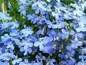 200 SKY BLUE LOBELIA REGATTA Lobelia Erinus Flower Seeds