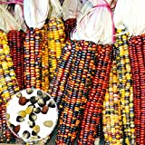 Granos végétales1 Sac Oreille de maïs Non-OGM Fresh Colorful Glass Gem Corn Seed for Botanist - Mixed Color Corn Seeds
