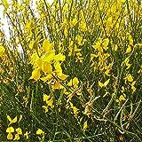 "Ginesetra odorosa""Spartium junceum"" Ginestra di Spagna pianta in vaso ø9 cm"