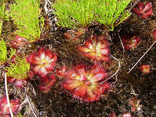 Drosera cuneifolia ~ péninsule Drosera ~ vivace Plante carnivore ~ 10 graines ~