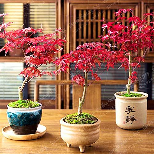 HONIC Rosso Acero 20pcs Bonsai Piante Bonsai. Il Sangue raro Rosso Balcone pianta Giapponese Bonsai per la Semina Giardino di casa
