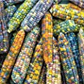 Burpee 'Glass Gem' Ornamental Corn 200 Seeds