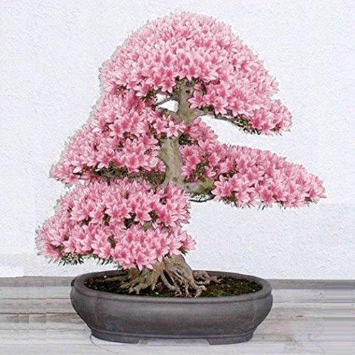 Kisshes Semillas de la flor de cerezo, flor adorable flores fragantes Bonsai semillas de flor de...