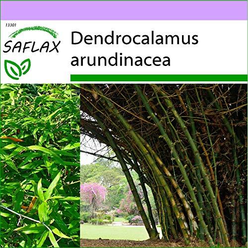 SAFLAX - Bambú de interior - 50 semillas - Dendrocalamus arundinacea