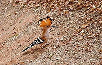 Posterazzi Madagascar Hoopoe Endemic Bird Poster Print by Charles Sleicher, (37 x 24)