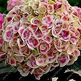 20 unidades por bolsa, semillas de flores bonsái, flores de porcelana perenne, plantas al aire libre 12