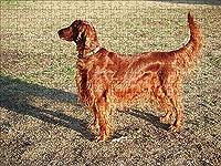 LHJOY 大人のためのジグソーパズル1000個アイリッシュセッター犬のぬりえ動物子供のための誕生日プレゼントとホリデーギフト 75x50cm