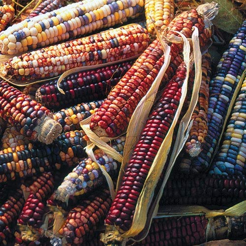 Sharpy 50/100 Pcs Mehrfarbige Maissamen, Gemüsesamen Garten