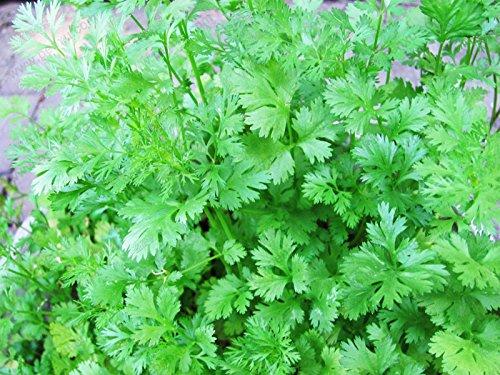 Paquet d'origine 160 graines / Pack, Quatre saisons de graines de persil, Saisons persil, fleurs en pot graines balcon de plantes, légumes du jardin