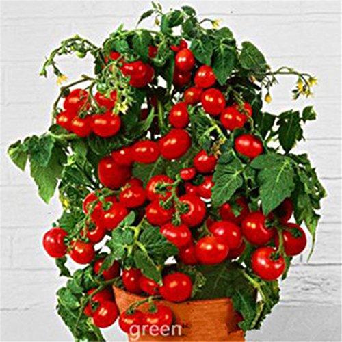 graines Bonsai de tomates, fruits sucrés Mini cerise pot de légumes biologiques frais - 20 pcs / lot