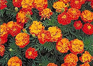 Best 1000 French Marigold Sparky Mix Seeds - Good Addition to Vegetable Gardens - Marde Ross & Company Review