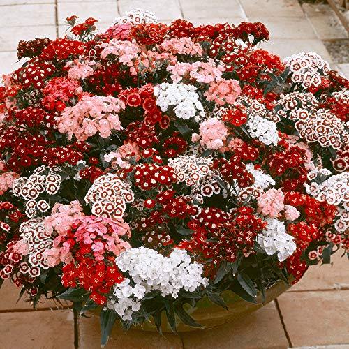 5ST Dianthus Barbatus Nanus | Bartnelke Rosa | Lieferhöhe 10-15cm |Topfgrö?e Ø 7cm