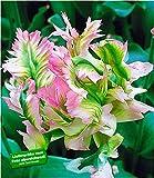 BALDUR-Garten Papageien-Tulpen 'Green Wave', 5 Zwiebeln