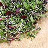 5,000+ Microgreens Seeds- Red Russian Kale by Ohio Heirloom Seeds