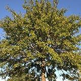 """Samen und Farms (Quercus palustris) """"Die Eiche Samen"""" 25 Samen"""