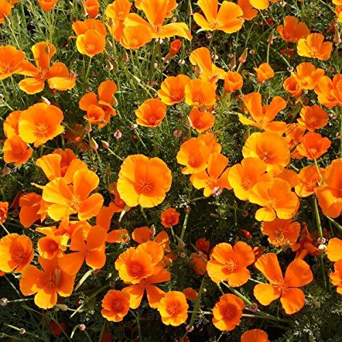 AIMADO Samen-100 Pcs Kalifornischer Mohn Saatgut,orange Bio-Samen bienenfreundlich Blumensamen delikate Pflanze ideal für Topf Bonsai Garten