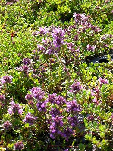 Thymus serpyllum Magic Carpet - Garten-Thymian, 24 Pflanzen im 5/6 cm Topf