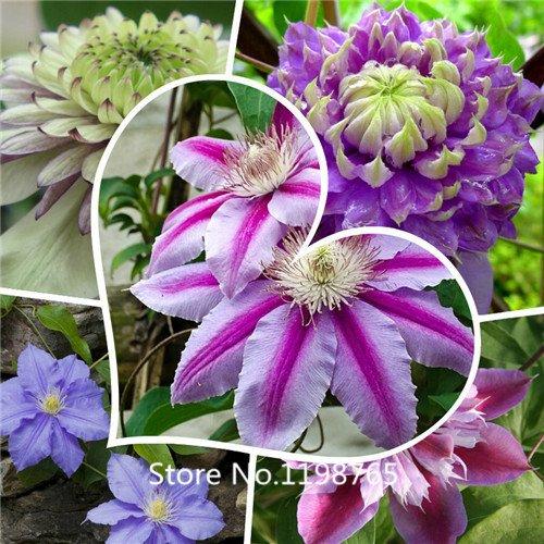 Big Seeds Ipomoea Nil, graines de fleurs corlorful, Semillas de Flores plantules pour la maison et le jardin, 50 graines / sac