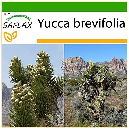SAFLAX - Albero di Giosuè - 10 semi - Con substrato - Yucca brevifolia