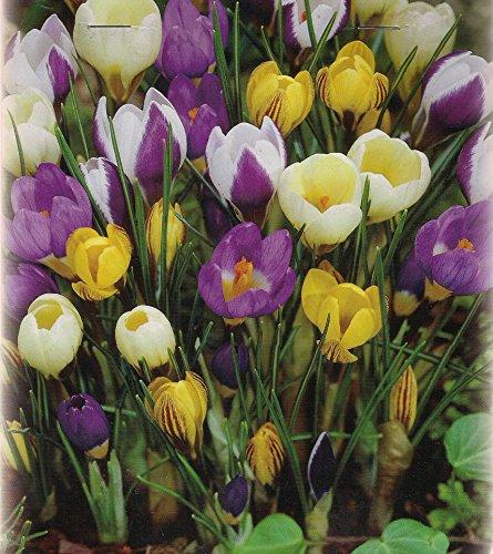 500 Botanische gemischte Krokusse Blumenzwiebeln Crocus Krokuszwiebeln