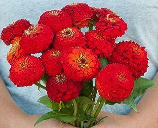 David's Garden Seeds Flower Zinnia Oklahoma Scarlet SL7557 (Red) 100 Non-GMO, Open Pollinated Seeds