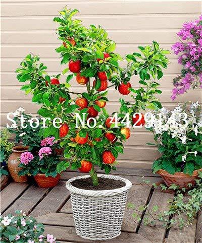 Generic Fresh 100 PCS Frische Apfelfrucht SAMEN zum Pflanzen von Rot 2