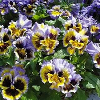 30+ Frizzle Sizzle Yellow and Blue Swirl Ruffled Pansy/Flower Seeds