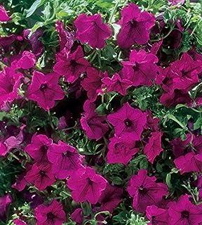 """Pack x6 Trailing Petunia Surfinia /""""Lime/"""" Trailing Basket Plug Plants"""
