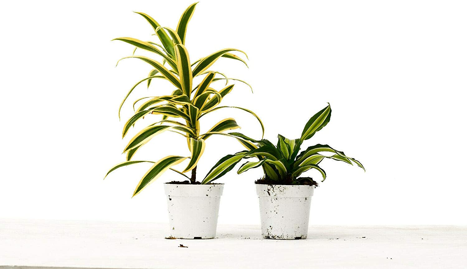2 Different Dracaenas In stock Variety Pack - Iive Car Mesa Mall House Free pIant