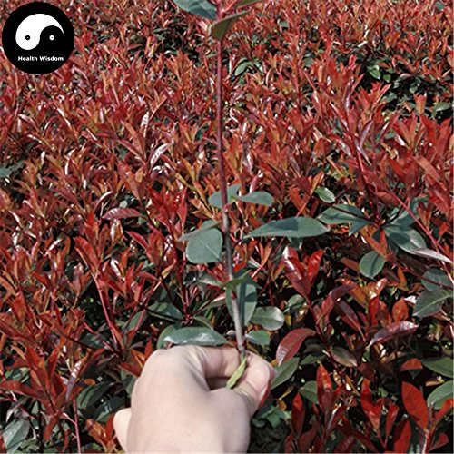 Acheter Photinia Serrulata arbre Graines Plante Red Robin 50pcs Pour Heather Shi Nan