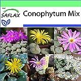 SAFLAX - Garden to Go - Conophytum Mix - 40 semillas - Con macetero de barro, platillo, sustrato para cultivo y fertilizante - Conophytum Mix
