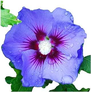 Best aphrodite hibiscus tree Reviews
