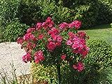 Stammrose pink Noatraum Rose Stammhöhe 90 cm öfterblühend robust