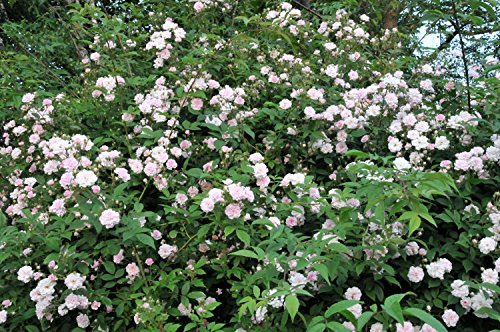 'Paul's Himalayan Musk' Rambling Rose Bush, with Double Pale Pink Flowers 3fatpigs