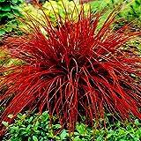 begorey Garten - Schwingel Grassamen Mischung Raritäten Ziergras Mehrfarbig Crabgrass